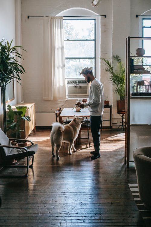 Obedient Akita Inu standing near table and looking at ethnic man owner while spending time at home in sunny day