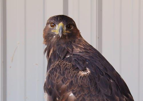Ingyenes stockfotó ragadozó madár, sas, szirti sas témában
