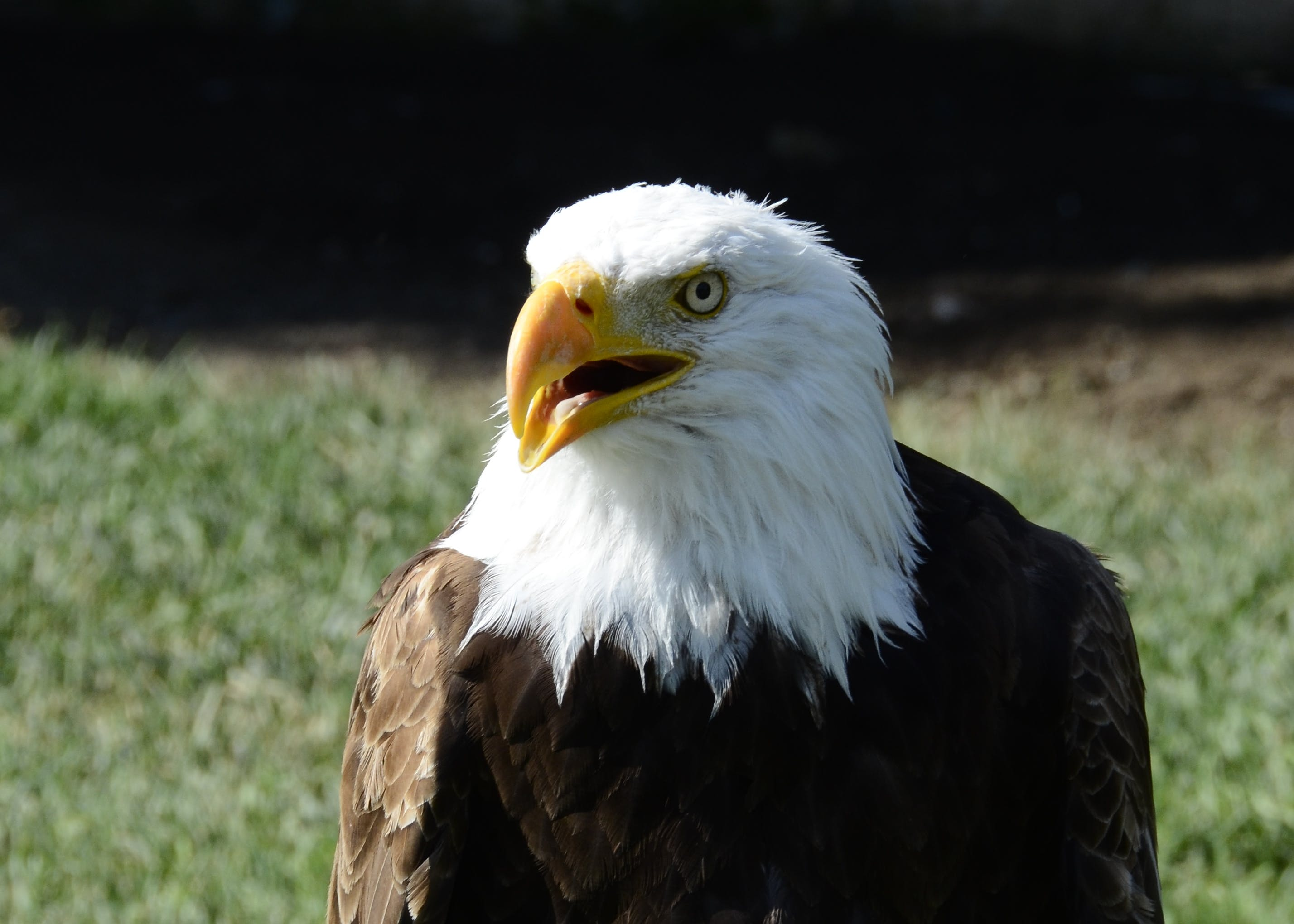 Kostenloses Stock Foto zu adler, raubvogel, weißkopfseeadler