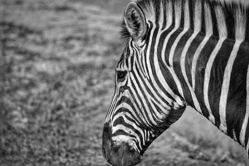 Gratis stockfoto met Afrika, beest, dierenfotografie, natuurgebied