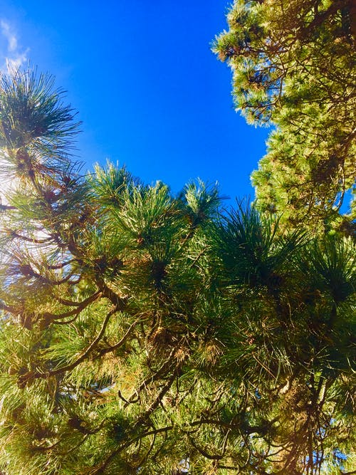 Free stock photo of pine tree, Pine tree in daylight