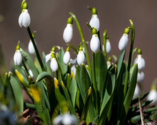 Delicate flowers of snowdrops with fresh verdant leaves growing in forest on blurred background