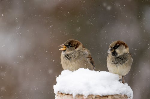 Little gray sparrows with soft feathers tweeting during snowfall on blurred background of nature