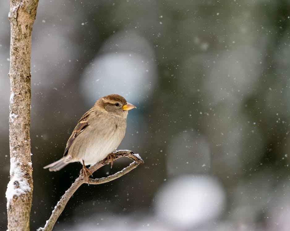 Cute Passer hispaniolensis bird sitting on tree branch in snowy forest in