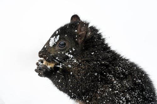 Adorable Sciurus carolinensis squirrel eating nut on snowy ground