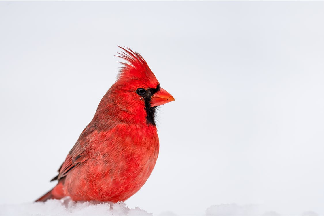 Side view of cute red northern cardinal bird sitting on snowy terrain on sunny winter day