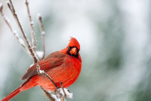 Curious red cardinal bird sitting on snowy tree branch in woods