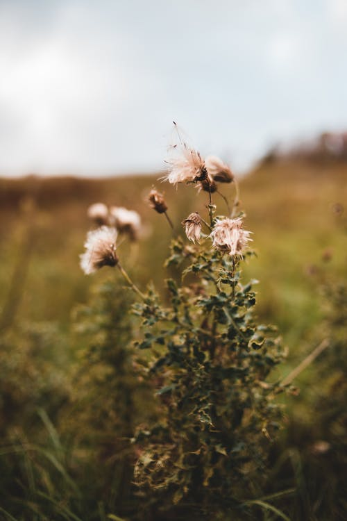 Small brown fading flowers in soft focus growing in meadow in cloudy weather