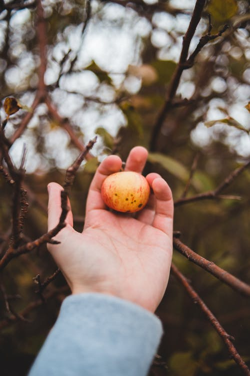 Hand of person holding fruit on tree