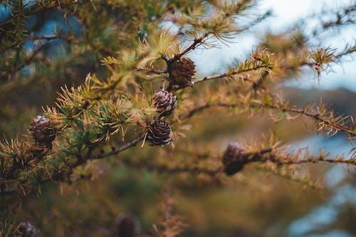 Foto d'estoc gratuïta de a l'aire lliure, acícula, agulla