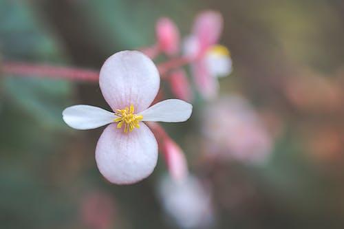 Gentle blooming Begonia grandis flower shrub growing in garden