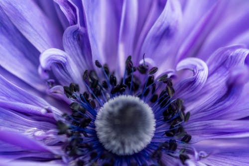 Macro of bright purple poppy anemone flower with soft pestle and gentle petals