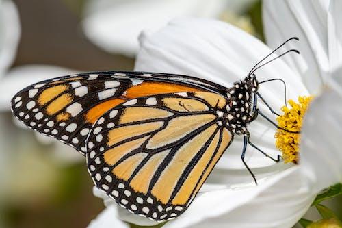Danaus plexippus butterfly sitting on white flower in garden