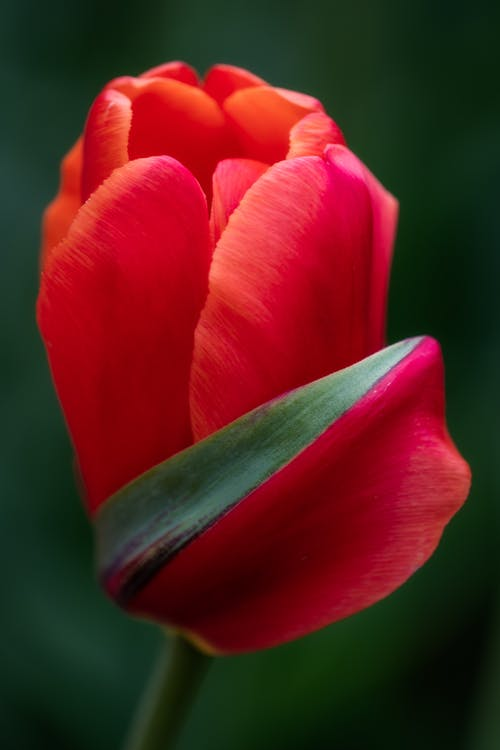 High angle closeup of delicate garden tulip with soft red petals growing in nature in sunlight
