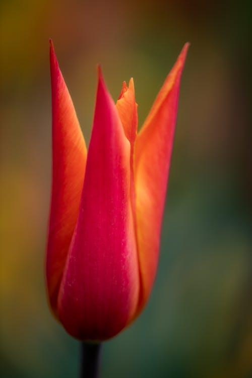 Ornamental Tulipa clusiana flower in daylight