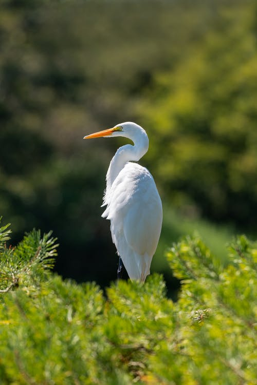 Side view of graceful great white egret standing amidst lush green plant on sunny day in nature