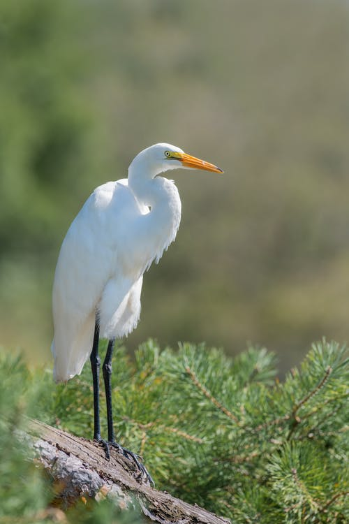 Graceful great egret standing on stone in lush green park