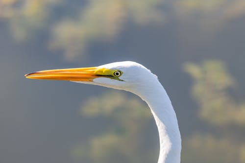 White great egret in woods on sunny day