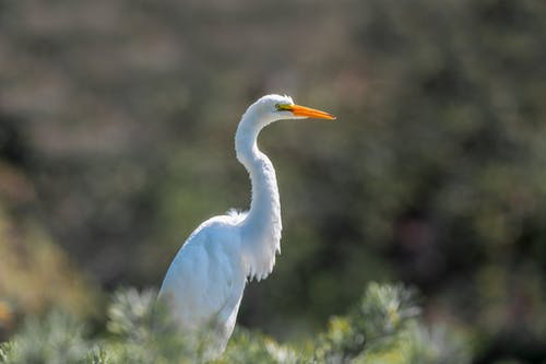 Calm white great egret looking away in nature