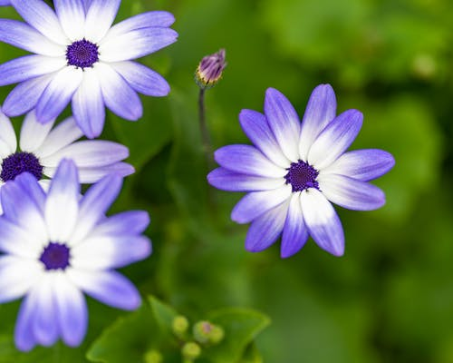 From above of small gentle exotic blue and white cineraria flowers growing in lush green garden on sunny day
