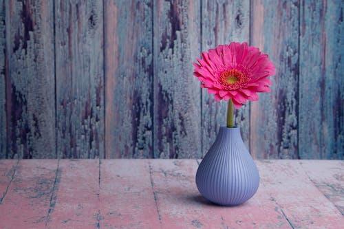 Minimalist Barberton daisy in small vase arranged against wooden wall