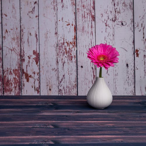 Bright fuchsia Barberton daisy flower placed in small white ceramic vase arranged on wooden table against shabby painted lumber wall