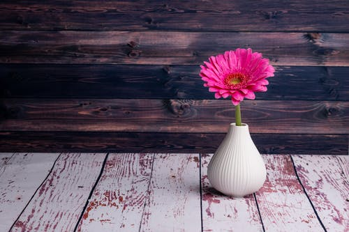 Fresh Gerbera jamesonii flower in white vase placed on painted shabby wooden table