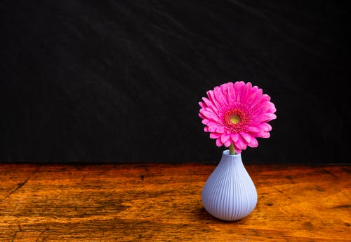 High angle of gentle fresh Barberton daisy flower with pink petals placed in vase on aged wooden table against black background