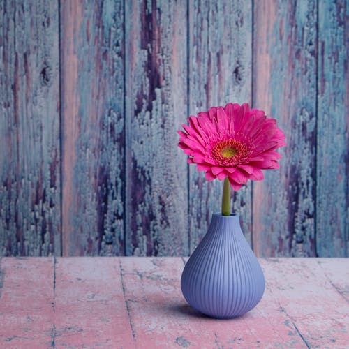 Pink Barberton daisy in curvy vase placed on shabby lumber table in room