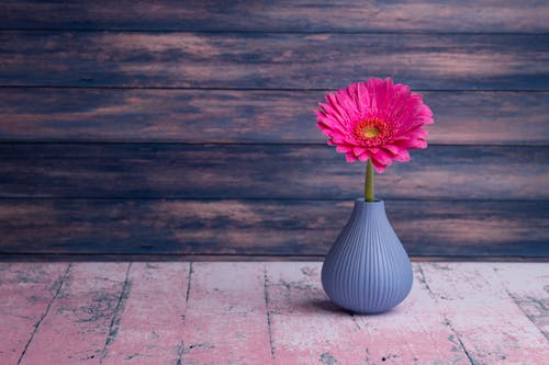 Single bright pink Barberton daisy flower on elegant vase placed on old weathered table