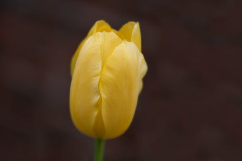 Closeup of fresh delicate yellow garden tulip growing in nature on spring day