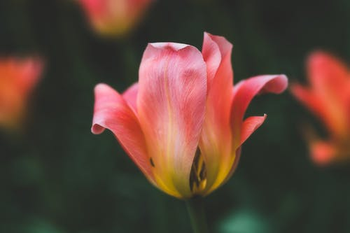 Closeup of tender pink Greigs tulip with delicate soft petals growing in lush garden on sunny day