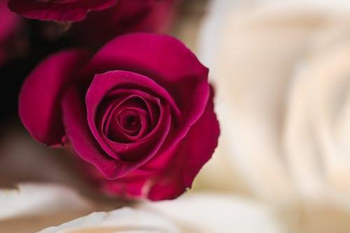 คลังภาพถ่ายฟรี ของ กลิ่น, กลิ่นหอม, กลีบดอกไม้