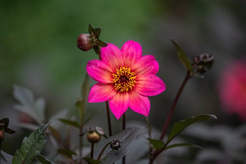 Tender aromatic Dahlia Happy Single Juliet flower with bright pink petals blooming in green garden in daytime