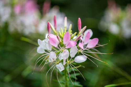 Exotic Cleome spinosa flowering plant growing in tropical garden