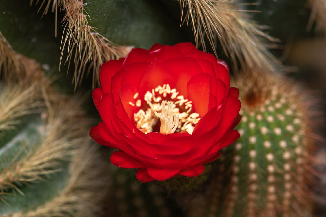 Echinopsis bruchii cactus with blooming red flower in greenhouse