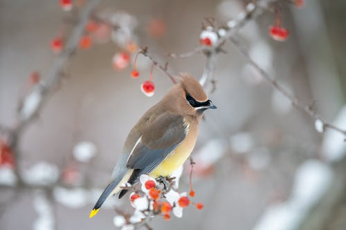 Side view of angry cedar waxwing bird with yellow belly sitting on snowy twig of leafless tree with frozen red berries in winter forest