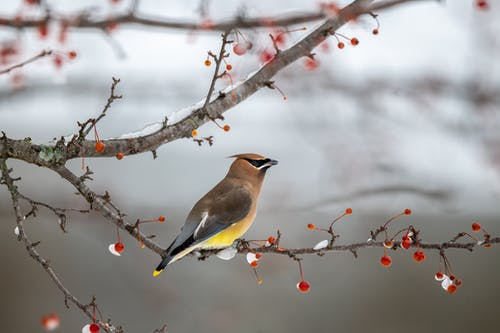Adorable fluffy bird sitting on tree branch near red berries in winter forest