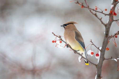 Graceful cedar bird observing terrain from tree branch in winter forest