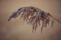 nature, macro, Phragmites