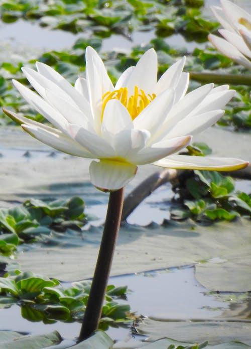 A White Lotus Flower Bloom