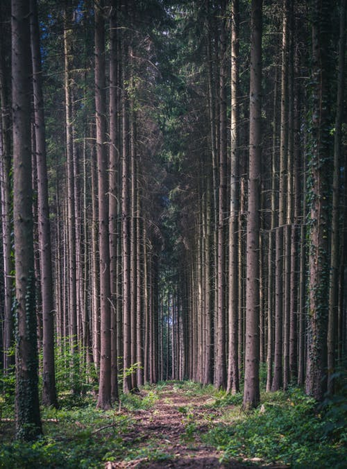 Walkway between tall pines trunks growing in woodland with coniferous trees and green grass