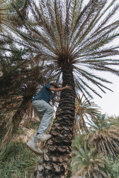 A Person in Blue Shirt and Denim Pants Climbing a Palm Tree