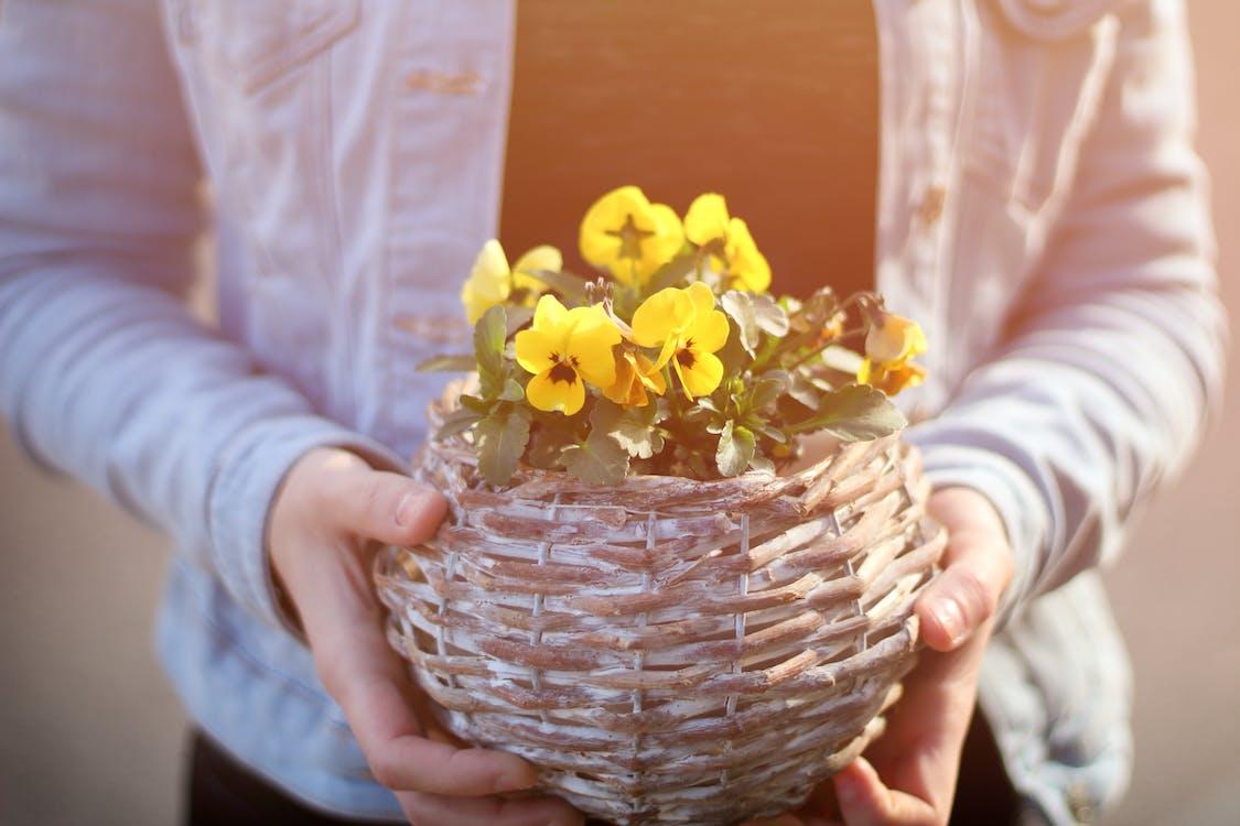Person, Die Topf Mit Gelben Blütenblättern Hält