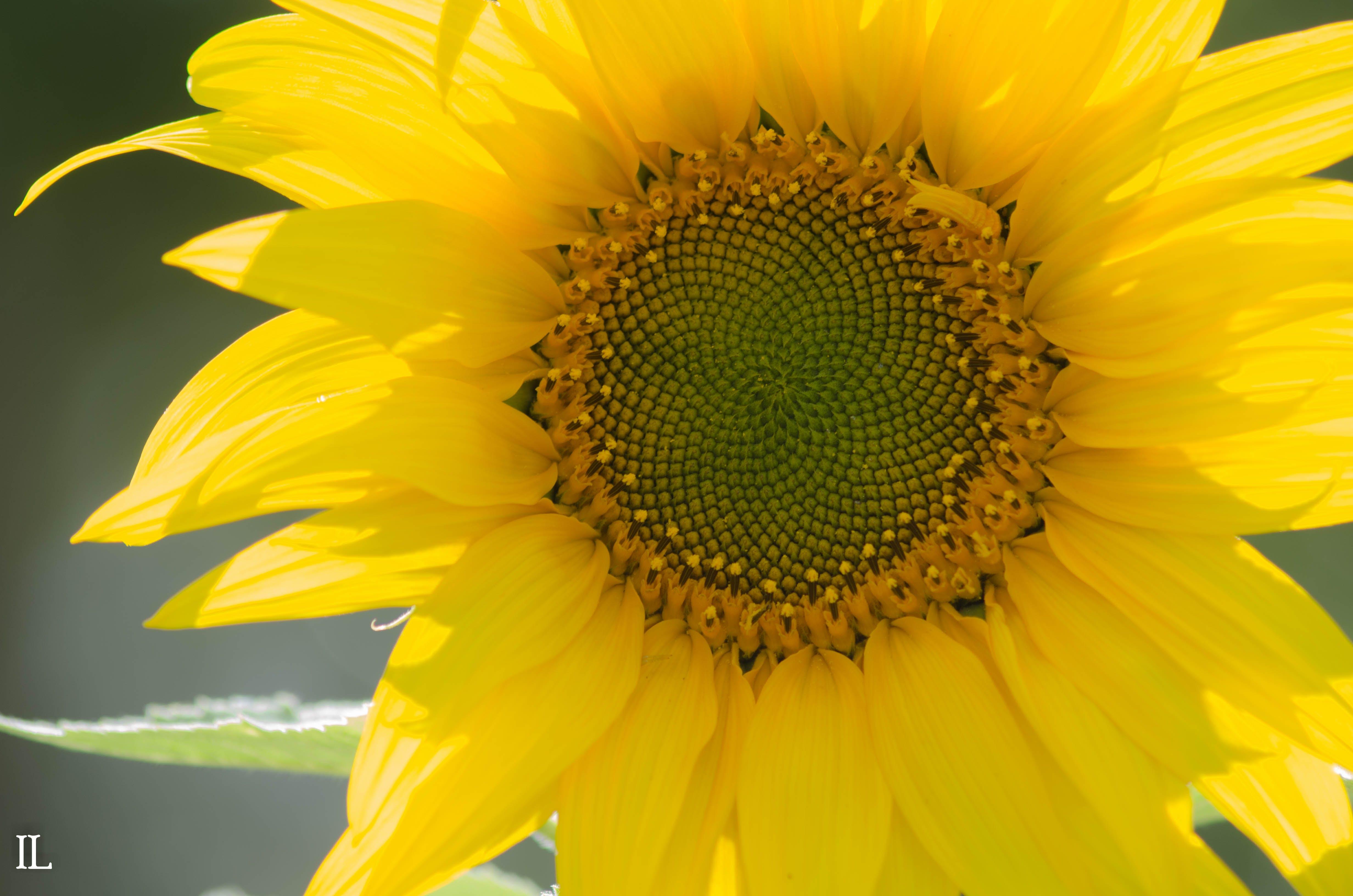 Free stock photo of flower, sunflower, yellow flower