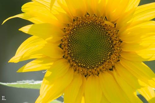 Ilmainen kuvapankkikuva tunnisteilla auringonkukka, keltainen kukka, kukka