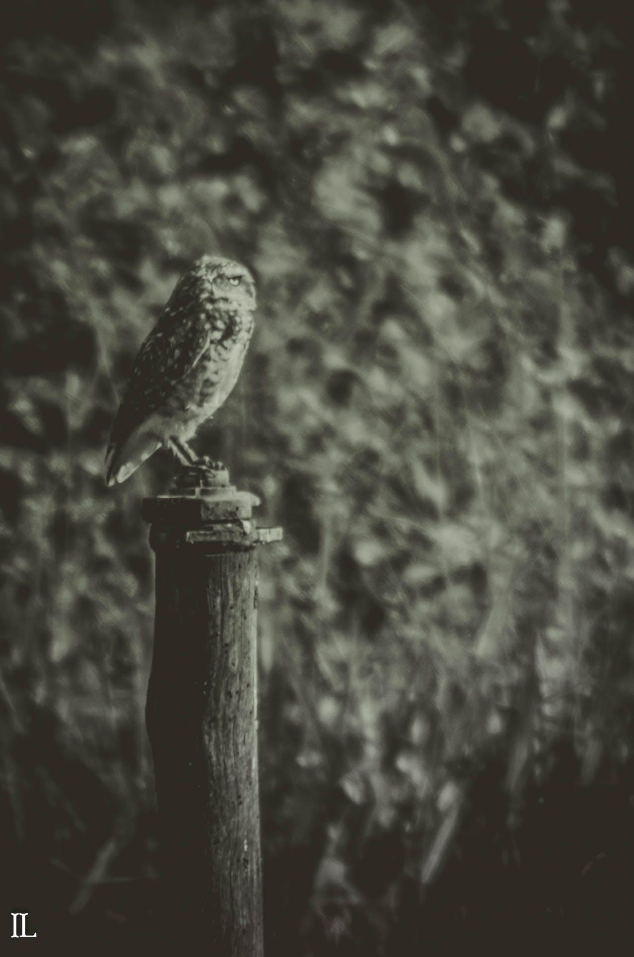 Free stock photo of owl