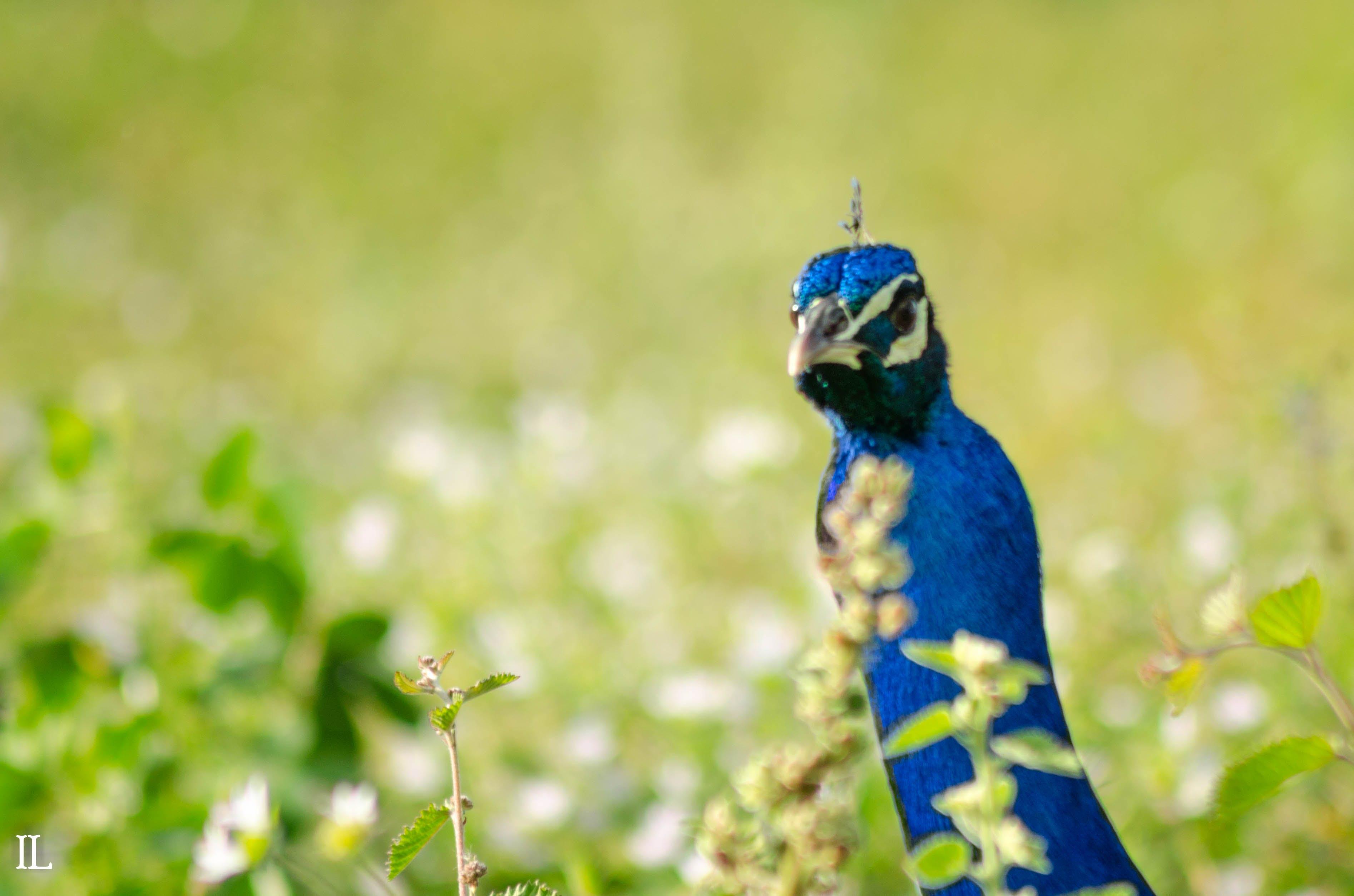 Free stock photo of peacock