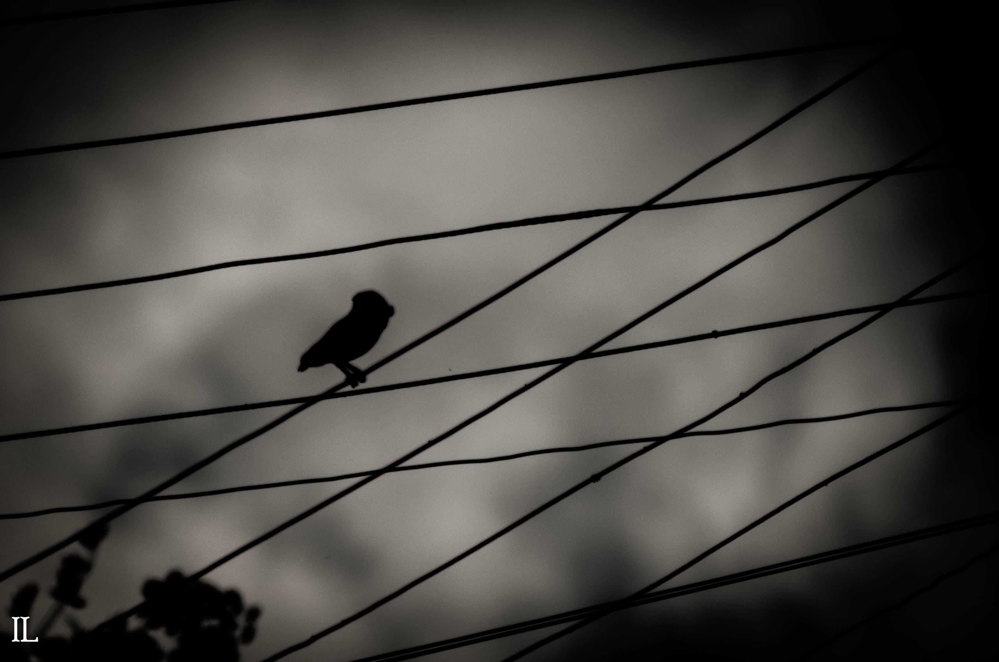 Free stock photo of owl, shadows