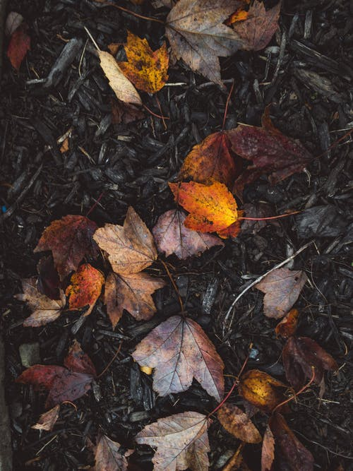 Top view of colorful dry withered maple leaves scattered on dark ground with fallen foliage in nature during autumn day
